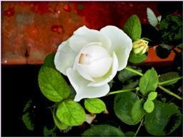 w-rose1..jpg